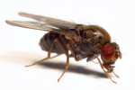 drosophila_lacicola