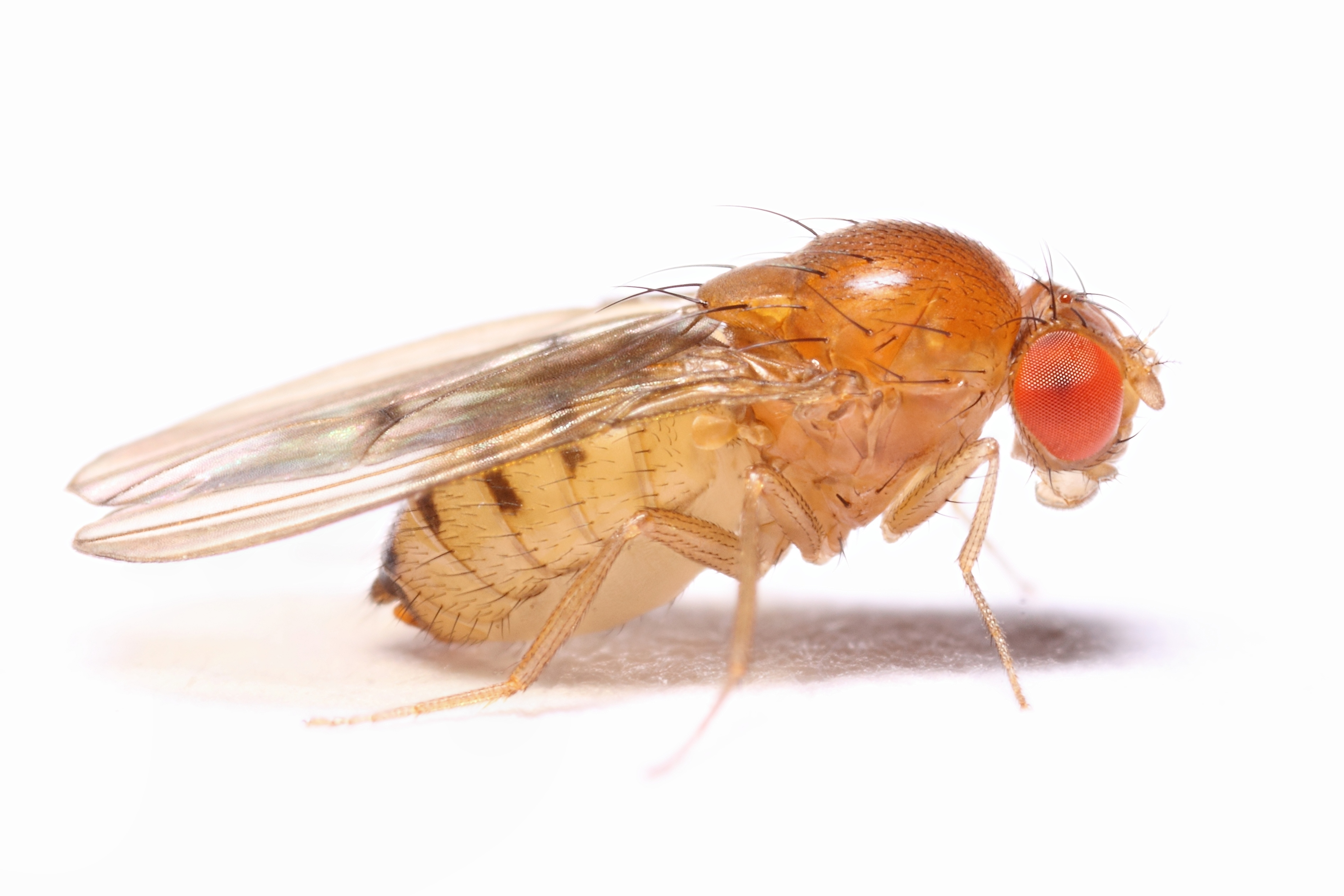 fruit fly lab The purpose of the lab report is for you to demonstrate your ability to deduct a simple teclmique reveals that genes controlling eye color in flies.
