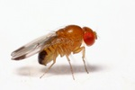 Drosophila_biarmipes