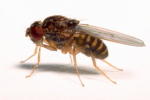 Drosophila_hydei