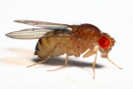 Drosophila_immigrans