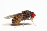 Drosophila_mojavensis_probably