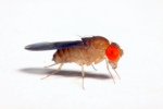 Drosophila_nebulosa