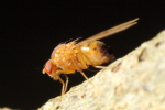Drosophila_phalerata